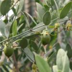 Silk-oil-of-morocco-LaNina-Jojoba-hedelmä-2